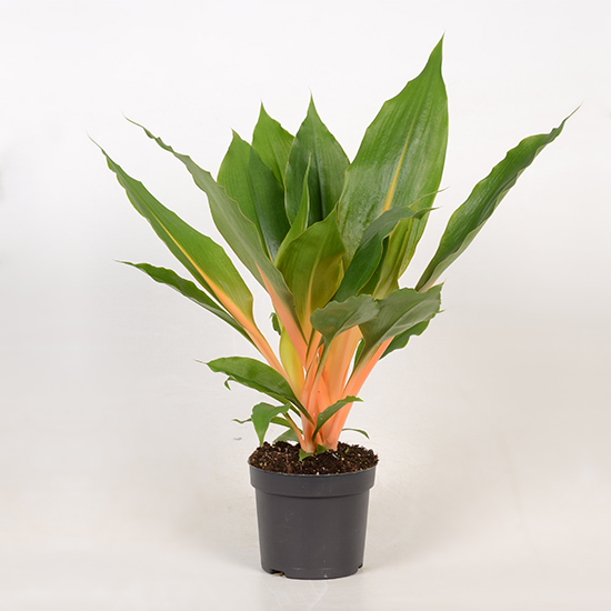Chlorophytum Green Orange