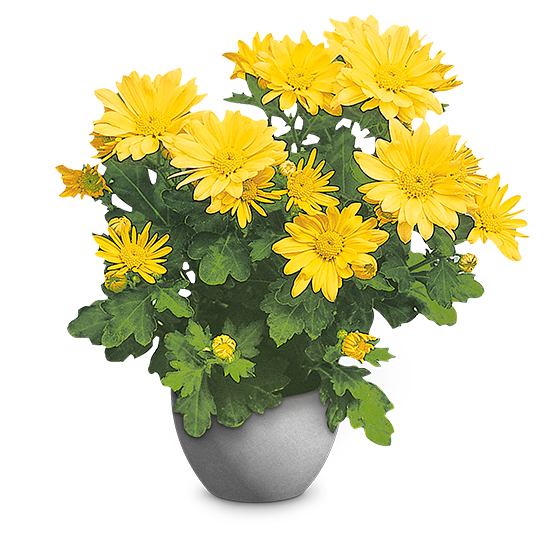 Krizantema (Chrysanthemum indicum)