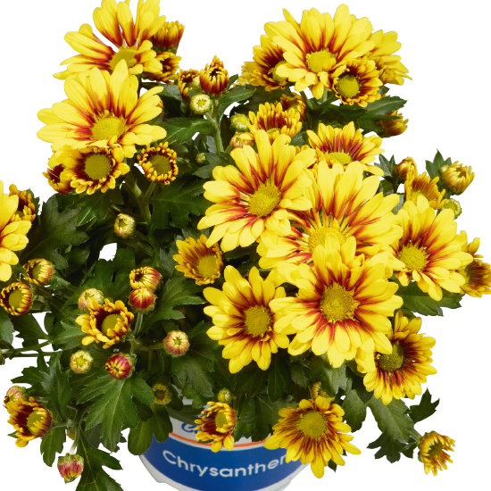 Krizanteme  (Chrysanthemum indicum)