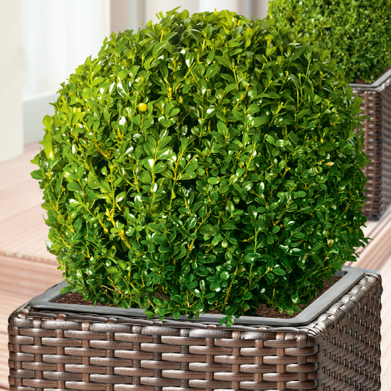 Pušpan (Buxus sempervirens/microphylla)